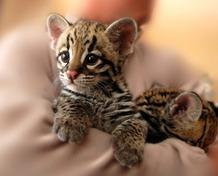 Stamps of Japan: Iriomote Wild Cat (2015)